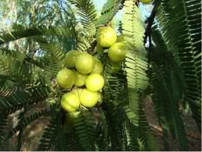 amla - Emblica Officinalis